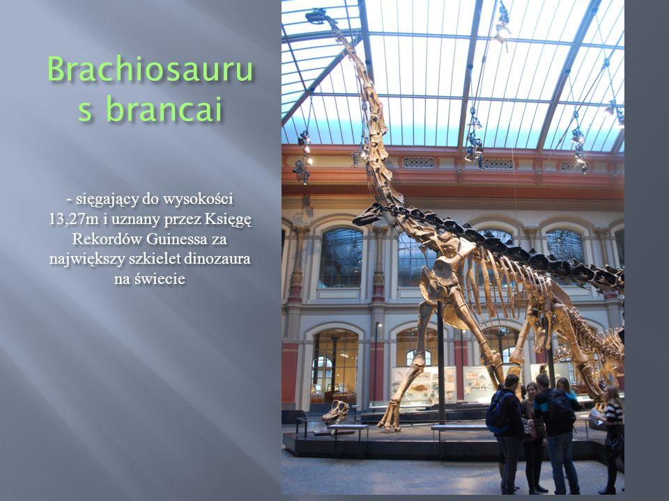 Brachiosauru s brancai - sięgający do wysokości 13,27m i uznany przez Księgę Rekordów Guinessa za największy szkielet dinozaura na świecie