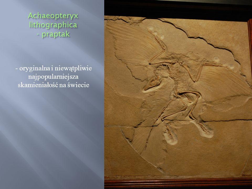 Achaeopteryx lithographica - praptak - oryginalna i niewątpliwie najpopularniejsza skamieniałość na świecie
