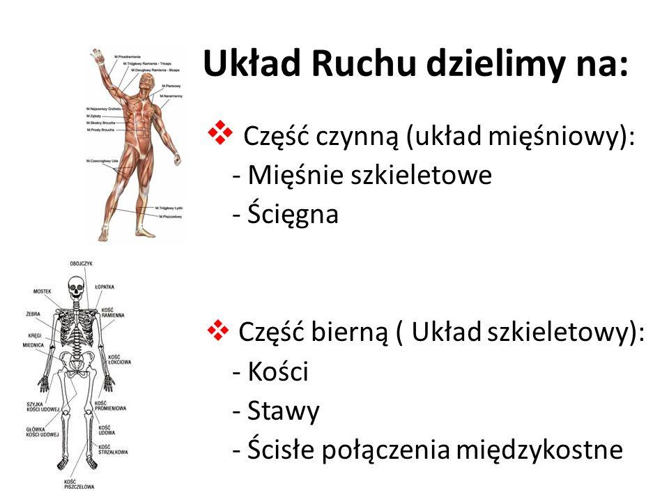 Układ Ruchu dzielimy na: Część czynną (układ mięśniowy): - Mięśnie szkieletowe - Ścięgna Część bierną ( Układ szkieletowy): - Kości - Stawy - Ścisłe połączenia międzykostne