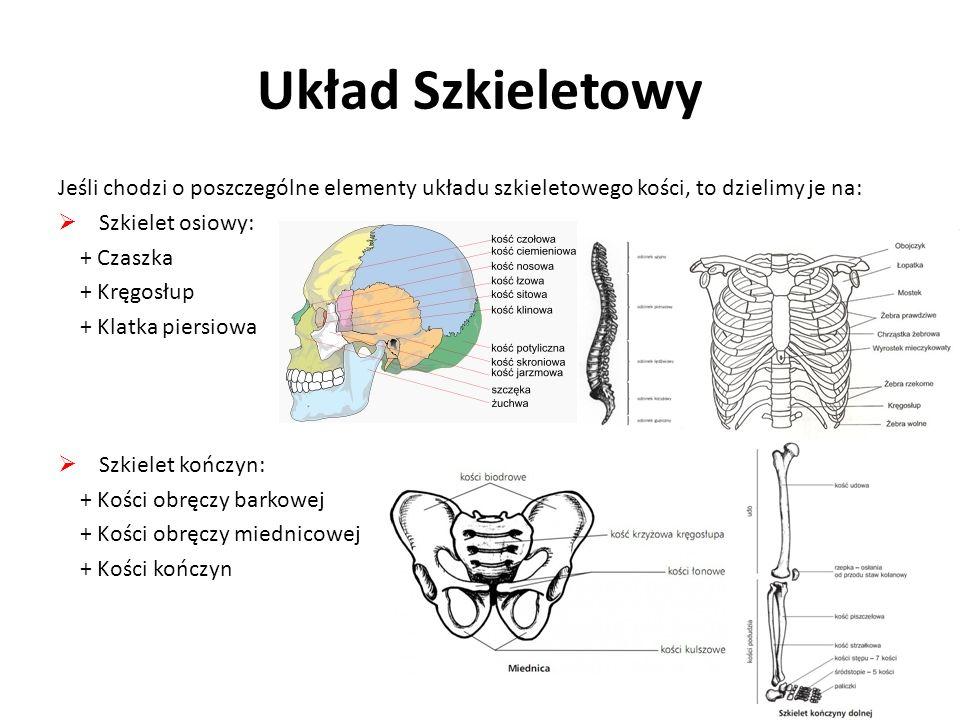 Układ Szkieletowy Jeśli chodzi o poszczególne elementy układu szkieletowego kości, to dzielimy je na: Szkielet osiowy: + Czaszka + Kręgosłup + Klatka piersiowa Szkielet kończyn: + Kości obręczy barkowej + Kości obręczy miednicowej + Kości kończyn