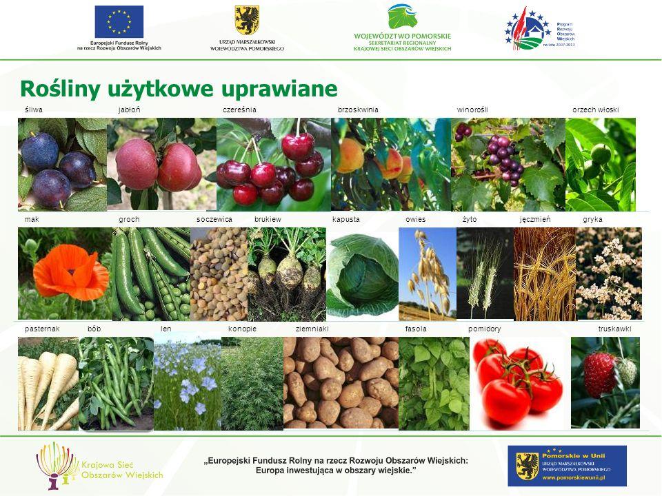 Rośliny użytkowe uprawiane brzoskwiniawinorośliorzech włoskijabłończereśniaśliwa makgrochsoczewicabrukiewkapustajęczmień lenkonopiepomidorybóbtruskawk