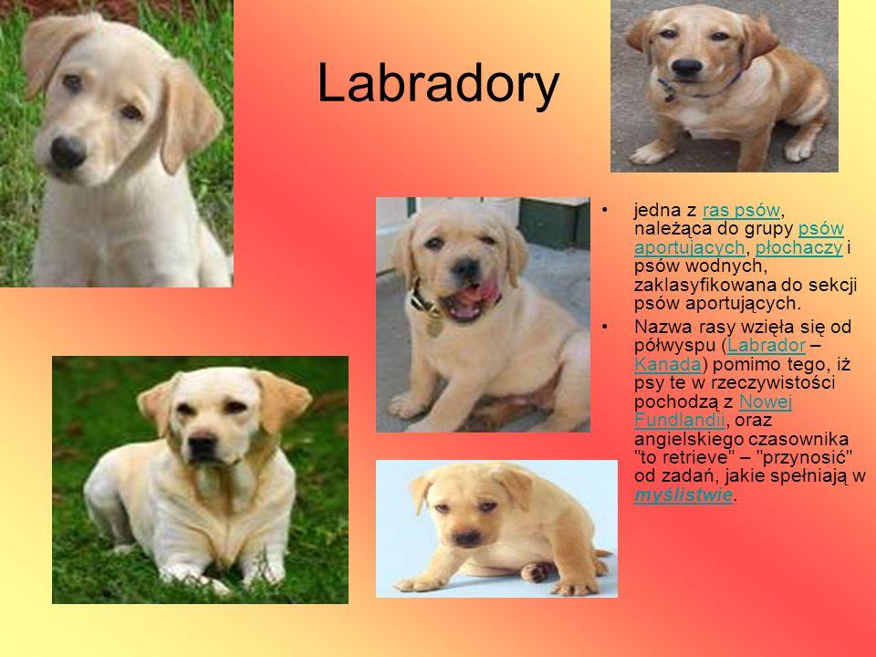 Labradory jedna z ras psów, należąca do grupy psów aportujących, płochaczy i psów wodnych, zaklasyfikowana do sekcji psów aportujących.ras psówpsów ap