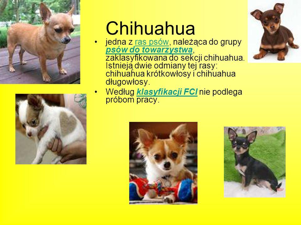 Chihuahua jedna z ras psów, należąca do grupy psów do towarzystwa, zaklasyfikowana do sekcji chihuahua. Istnieją dwie odmiany tej rasy: chihuahua krót