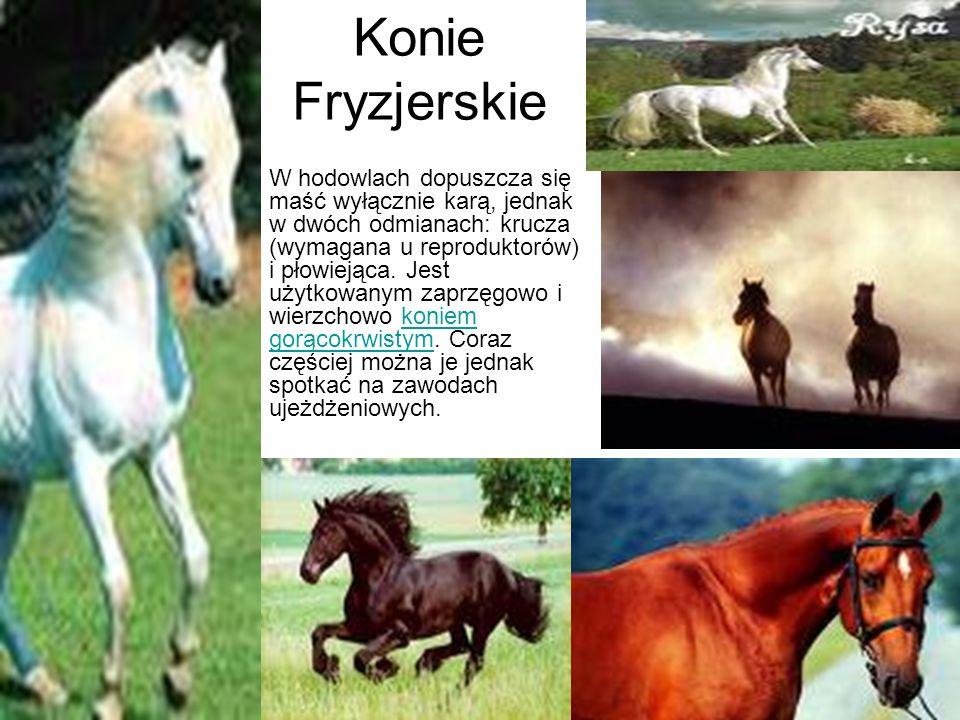 Konie Fryzjerskie W hodowlach dopuszcza się maść wyłącznie karą, jednak w dwóch odmianach: krucza (wymagana u reproduktorów) i płowiejąca. Jest użytko
