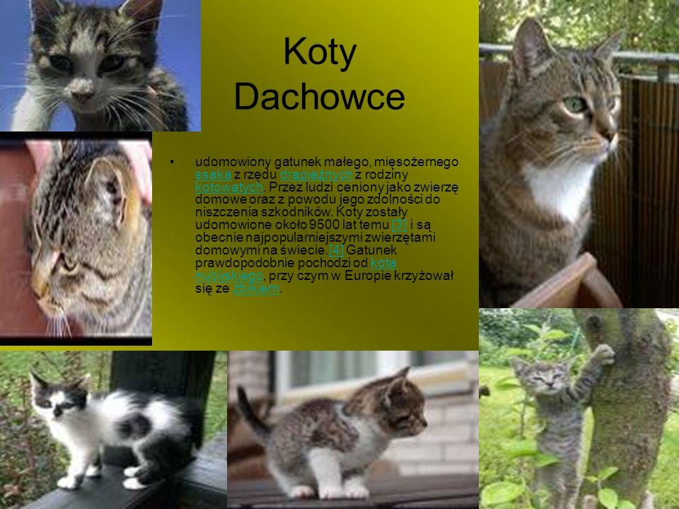 Koty Dachowce udomowiony gatunek małego, mięsożernego ssaka z rzędu drapieżnych z rodziny kotowatych. Przez ludzi ceniony jako zwierzę domowe oraz z p