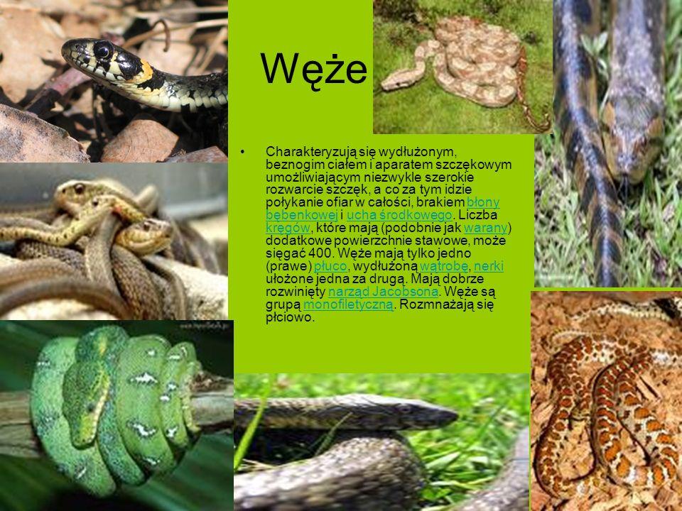 Węże Charakteryzują się wydłużonym, beznogim ciałem i aparatem szczękowym umożliwiającym niezwykle szerokie rozwarcie szczęk, a co za tym idzie połyka
