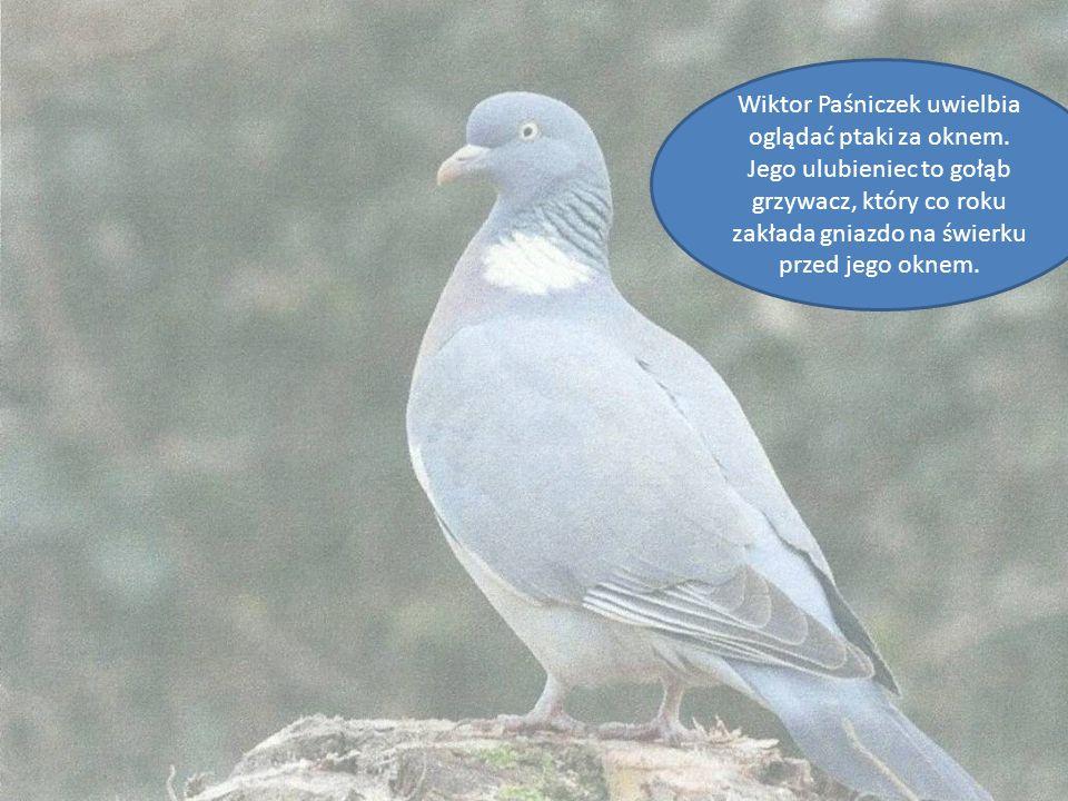 Wiktor Paśniczek uwielbia oglądać ptaki za oknem. Jego ulubieniec to gołąb grzywacz, który co roku zakłada gniazdo na świerku przed jego oknem.