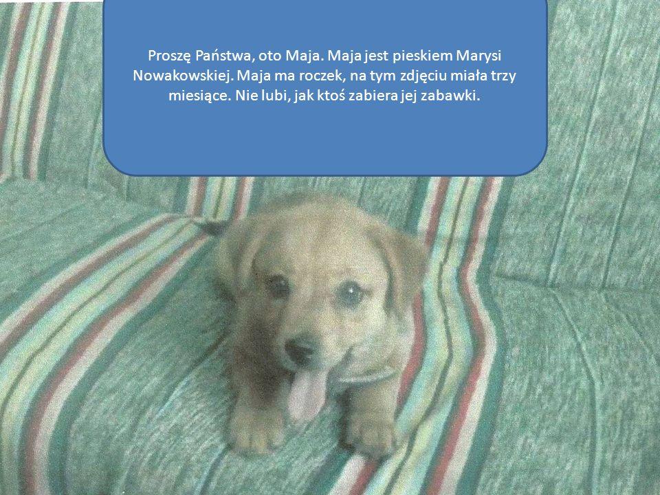 Proszę Państwa, oto Maja. Maja jest pieskiem Marysi Nowakowskiej. Maja ma roczek, na tym zdjęciu miała trzy miesiące. Nie lubi, jak ktoś zabiera jej z