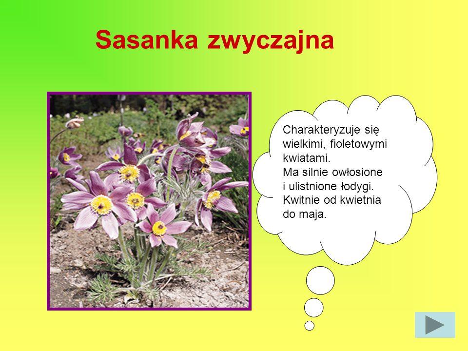 Sasanka zwyczajna Charakteryzuje się wielkimi, fioletowymi kwiatami. Ma silnie owłosione i ulistnione łodygi. Kwitnie od kwietnia do maja.