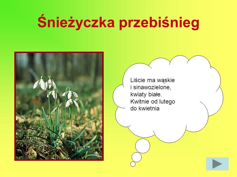 Śnieżyczka przebiśnieg Liście ma wąskie i sinawozielone, kwiaty białe. Kwitnie od lutego do kwietnia
