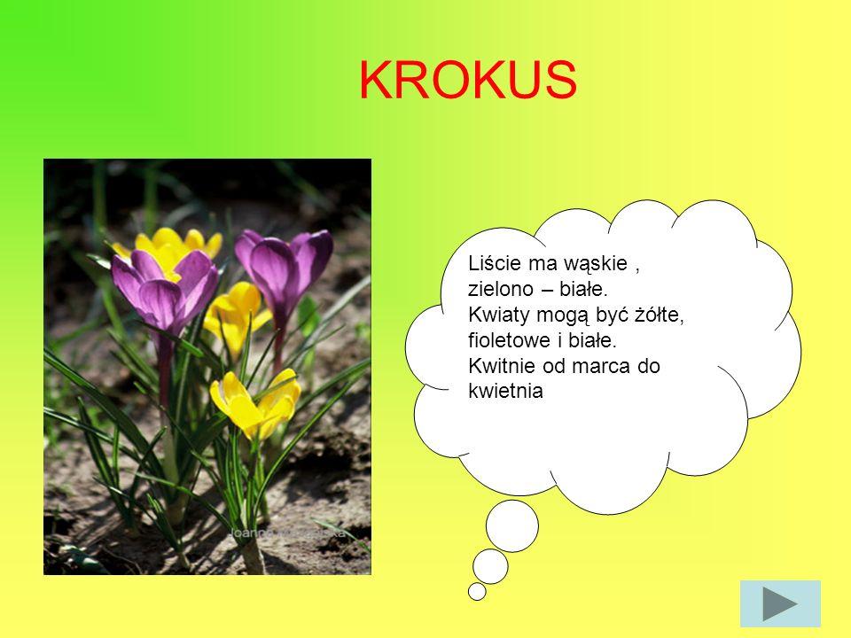 KROKUS Liście ma wąskie, zielono – białe. Kwiaty mogą być żółte, fioletowe i białe. Kwitnie od marca do kwietnia