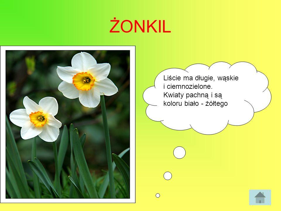 ŻONKIL Liście ma długie, wąskie i ciemnozielone. Kwiaty pachną i są koloru biało - żółtego
