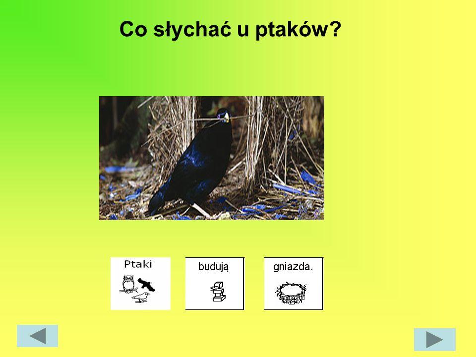Co słychać u ptaków?
