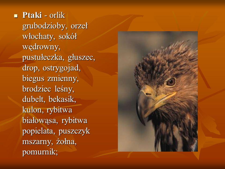 Ptaki - orlik grubodzioby, orzeł włochaty, sokół wędrowny, pustułeczka, głuszec, drop, ostrygojad, biegus zmienny, brodziec leśny, dubelt, bekasik, ku