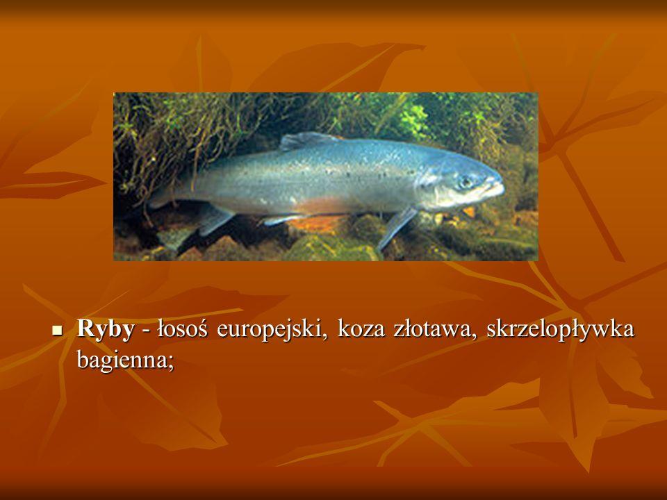 Ryby - łosoś europejski, koza złotawa, skrzelopływka bagienna; Ryby - łosoś europejski, koza złotawa, skrzelopływka bagienna;