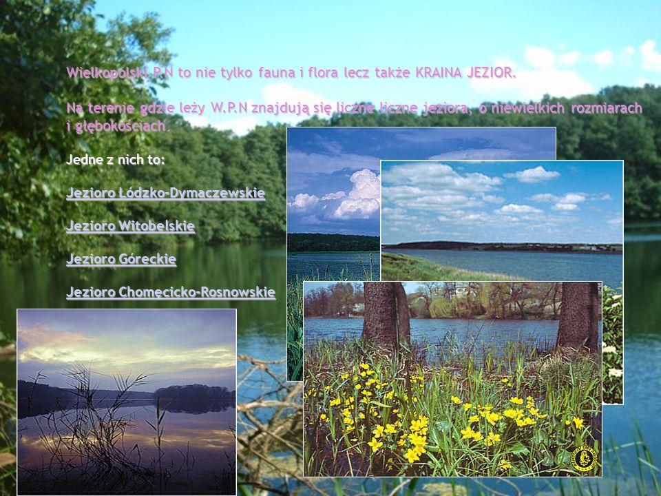 Wielkopolski P.N to nie tylko fauna i flora lecz także KRAINA JEZIOR. Na terenie gdzie leży W.P.N znajdują się liczne liczne jeziora, o niewielkich ro