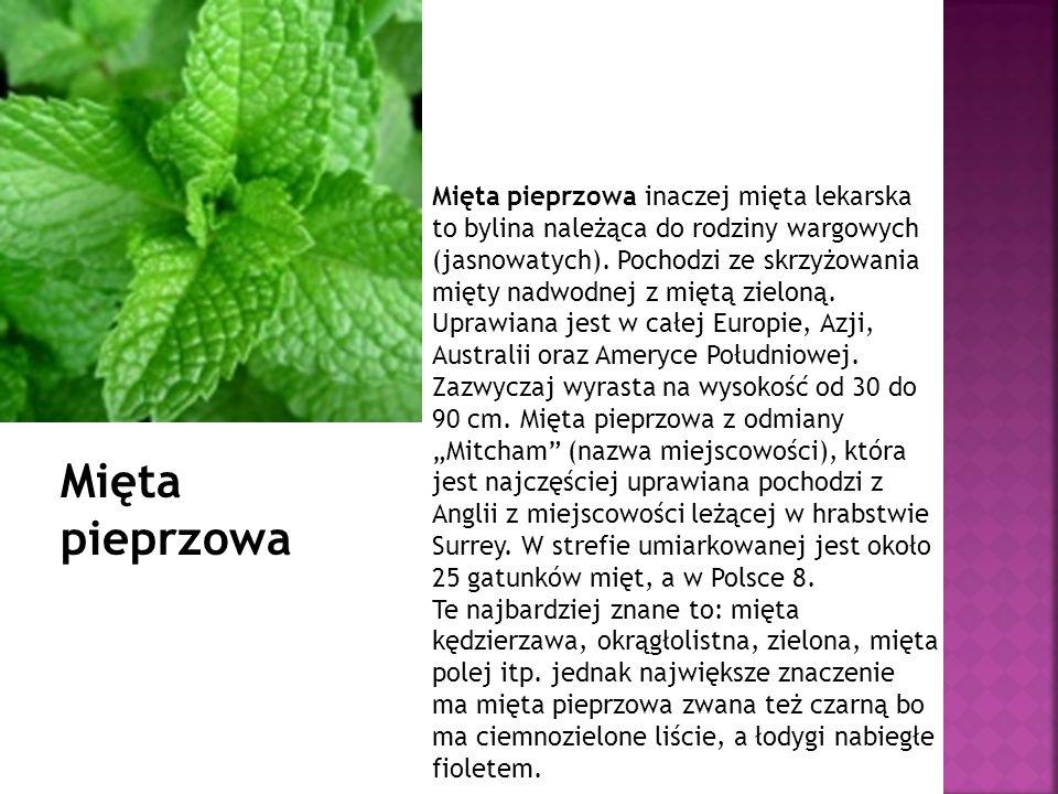 Mięta pieprzowa inaczej mięta lekarska to bylina należąca do rodziny wargowych (jasnowatych). Pochodzi ze skrzyżowania mięty nadwodnej z miętą zieloną