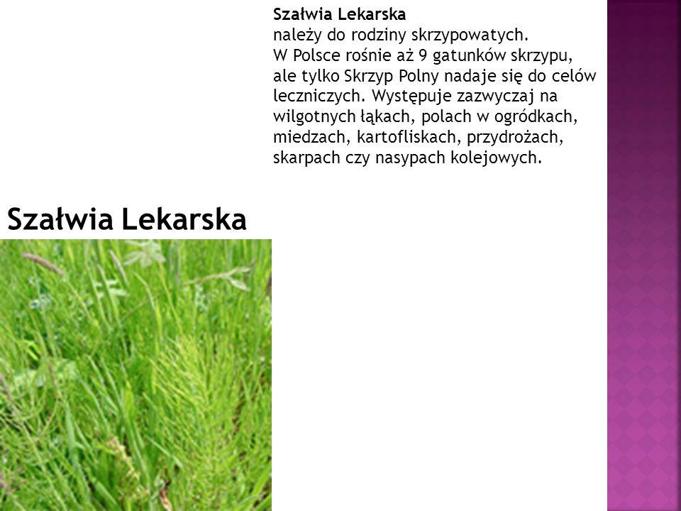 Szałwia Lekarska należy do rodziny skrzypowatych. W Polsce rośnie aż 9 gatunków skrzypu, ale tylko Skrzyp Polny nadaje się do celów leczniczych. Wystę