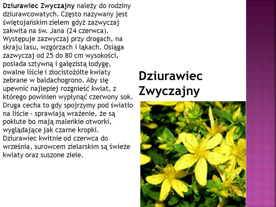 Dziurawiec Zwyczajny należy do rodziny dziurawcowatych. Często nazywany jest świętojańskim zielem gdyż zazwyczaj zakwita na św. Jana (24 czerwca). Wys