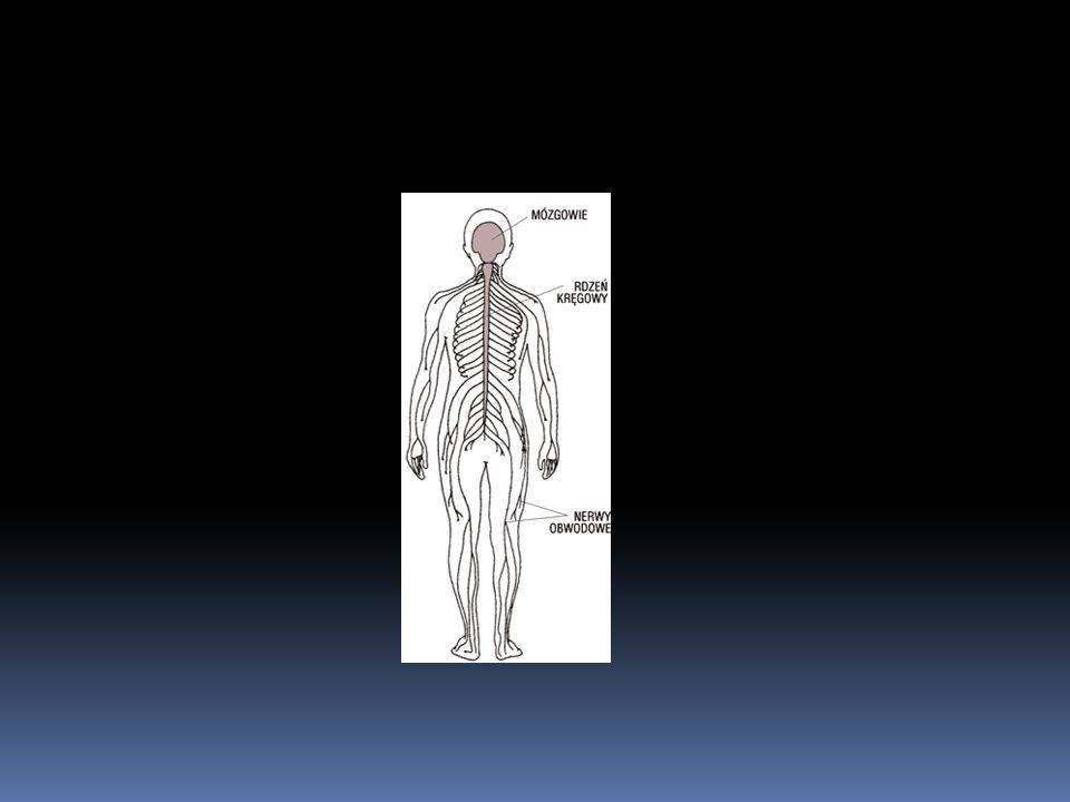 Układ nerwowy składa się z ośrodkowego (centralnego) i obwodowego układu nerwowego (Ryc.6-1).