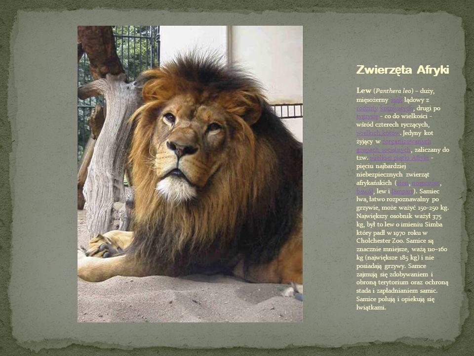 Lew (Panthera leo) – duży, mięsożerny ssak lądowy z rodziny kotowatych, drugi po tygrysie - co do wielkości - wśród czterech ryczących, wielkich kotów
