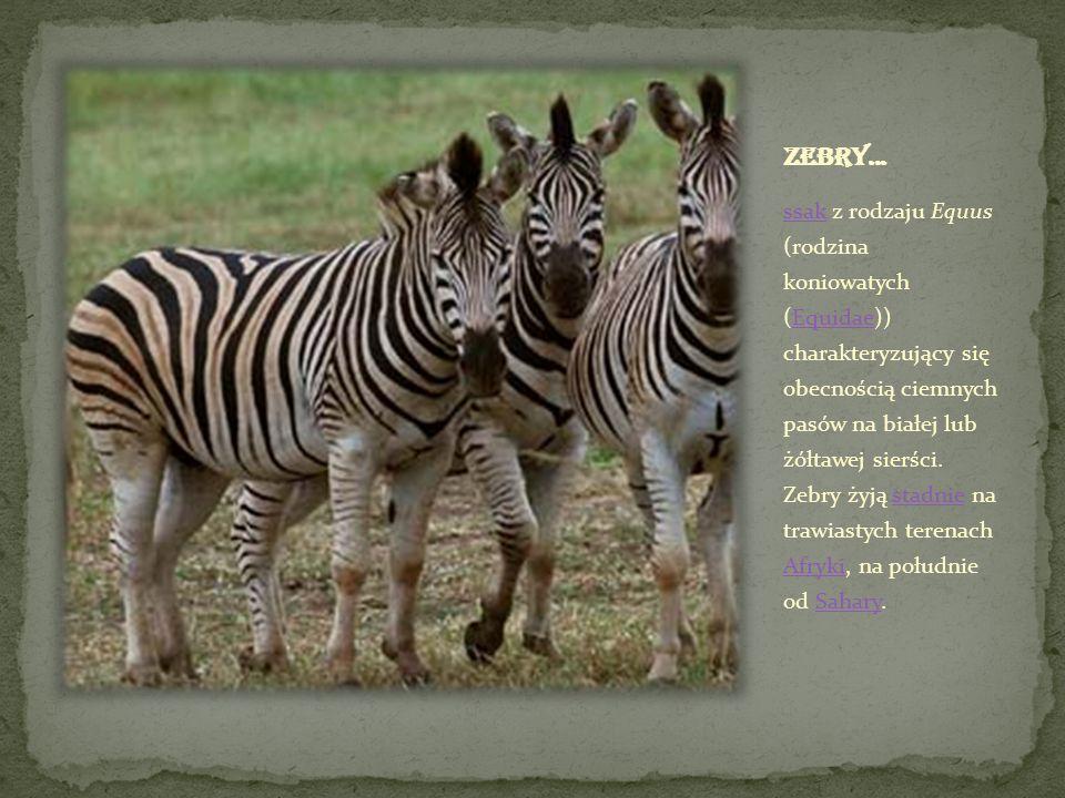 ssakssak z rodzaju Equus (rodzina koniowatych (Equidae)) charakteryzujący się obecnością ciemnych pasów na białej lub żółtawej sierści. Zebry żyją sta