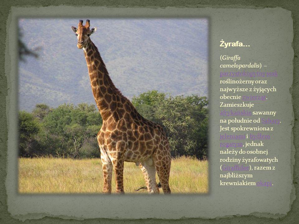 (Giraffa camelopardalis) – parzystokopytny ssak roślinożerny oraz najwyższe z żyjących obecnie zwierząt. Zamieszkuje afrykańskie sawanny na południe o