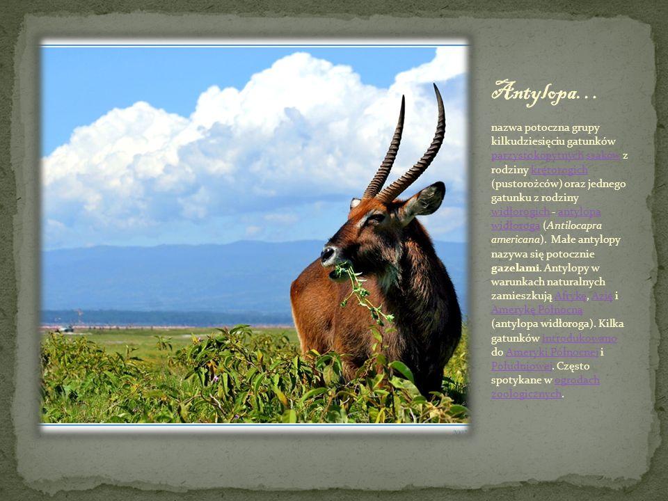 nazwa potoczna grupy kilkudziesięciu gatunków parzystokopytnych ssaków z rodziny krętorogich (pustorożców) oraz jednego gatunku z rodziny widłorogich