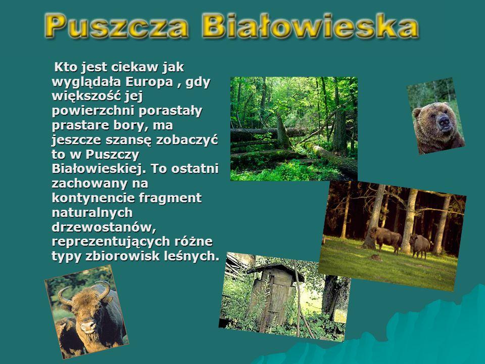 Kto jest ciekaw jak wyglądała Europa, gdy większość jej powierzchni porastały prastare bory, ma jeszcze szansę zobaczyć to w Puszczy Białowieskiej.