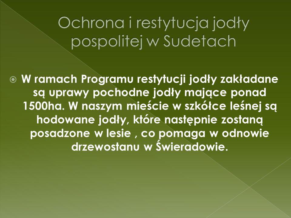 W ramach Programu restytucji jodły zakładane są uprawy pochodne jodły mające ponad 1500ha.