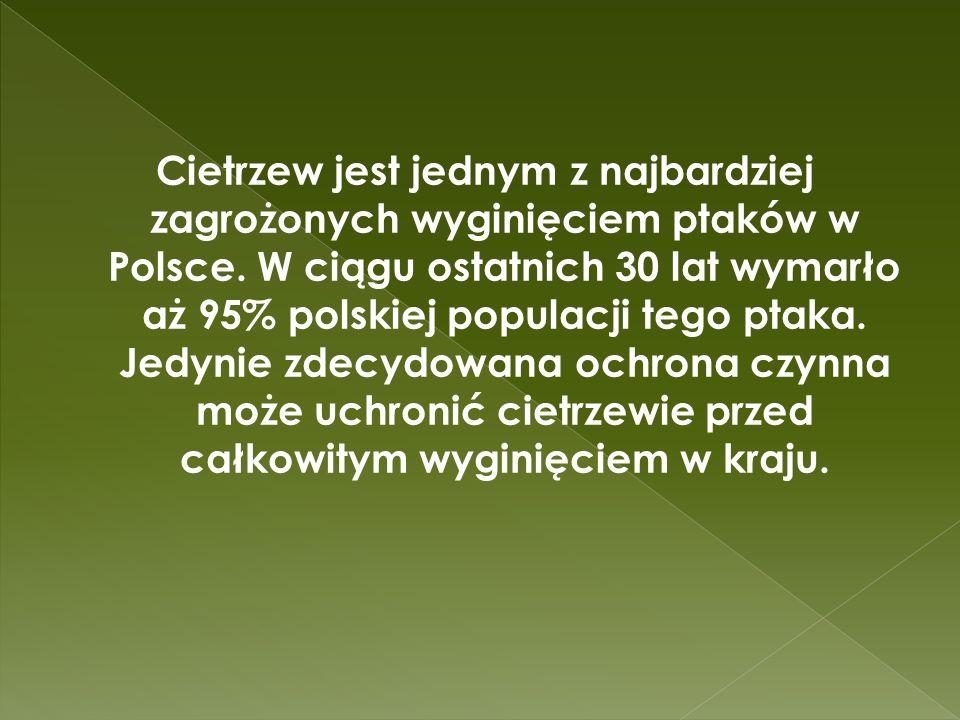 Cietrzew jest jednym z najbardziej zagrożonych wyginięciem ptaków w Polsce. W ciągu ostatnich 30 lat wymarło aż 95% polskiej populacji tego ptaka. Jed