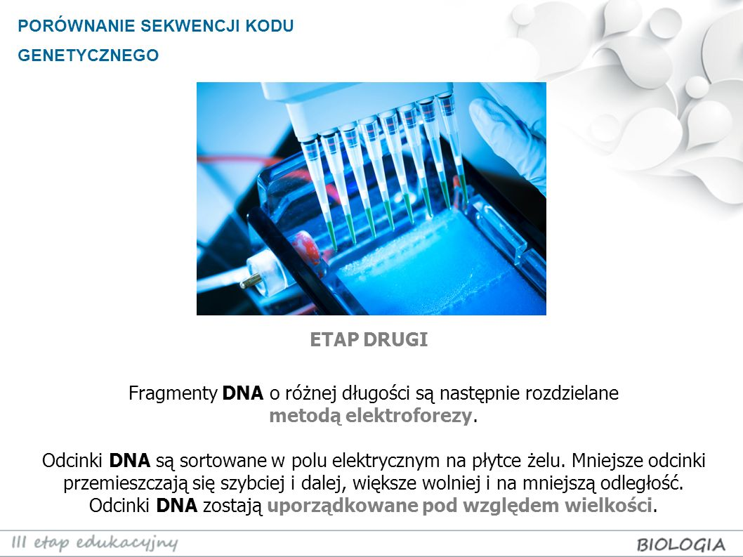 PORÓWNANIE SEKWENCJI KODU GENETYCZNEGO Fragmenty DNA o różnej długości są następnie rozdzielane metodą elektroforezy. Odcinki DNA są sortowane w polu