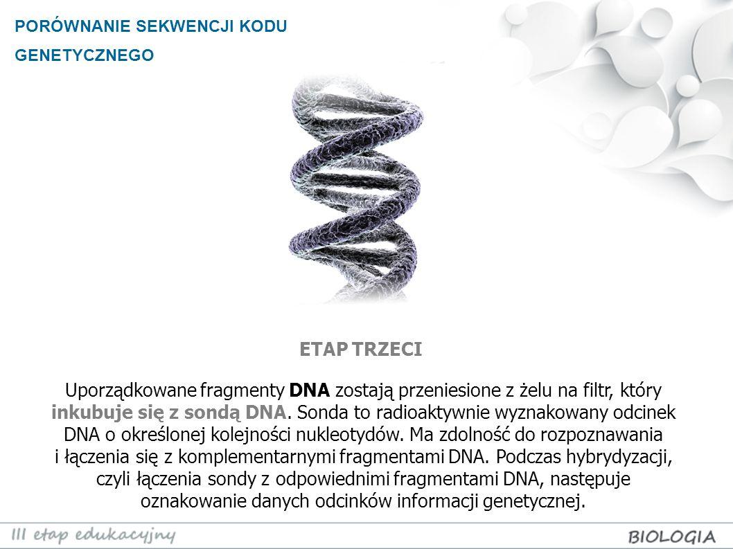 PORÓWNANIE SEKWENCJI KODU GENETYCZNEGO Uporządkowane fragmenty DNA zostają przeniesione z żelu na filtr, który inkubuje się z sondą DNA. Sonda to radi