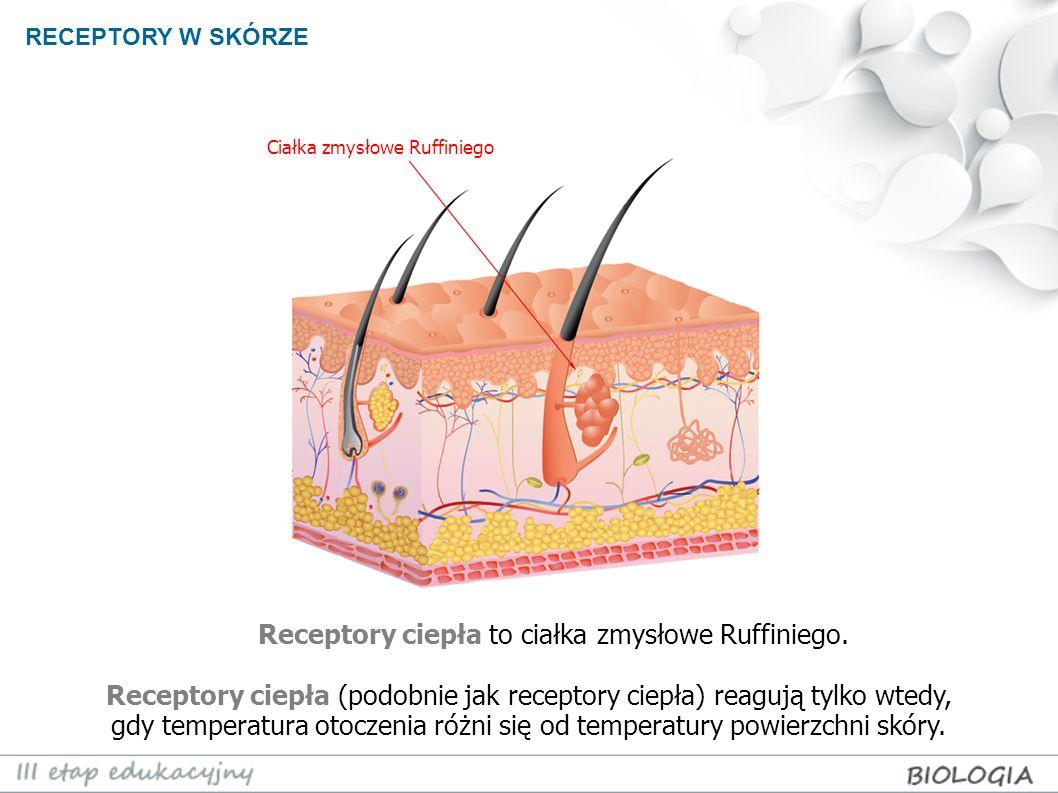 RECEPTORY W SKÓRZE Receptory ciepła to ciałka zmysłowe Ruffiniego. Receptory ciepła (podobnie jak receptory ciepła) reagują tylko wtedy, gdy temperatu