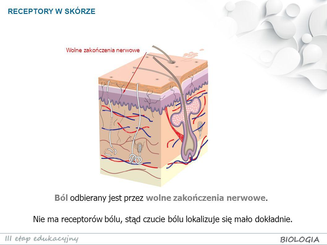 RECEPTORY W SKÓRZE Ból odbierany jest przez wolne zakończenia nerwowe. Nie ma receptorów bólu, stąd czucie bólu lokalizuje się mało dokładnie. Wolne z