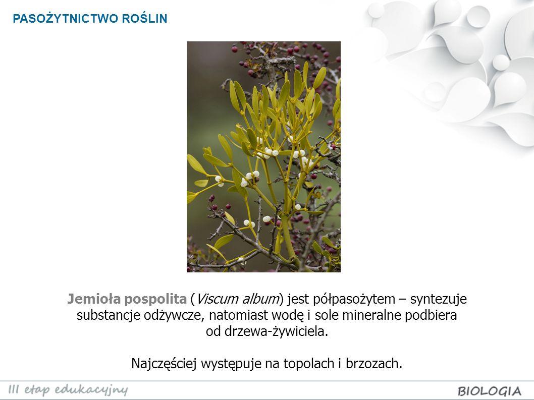 PASOŻYTNICTWO ROŚLIN Jemioła pospolita (Viscum album) jest półpasożytem – syntezuje substancje odżywcze, natomiast wodę i sole mineralne podbiera od d