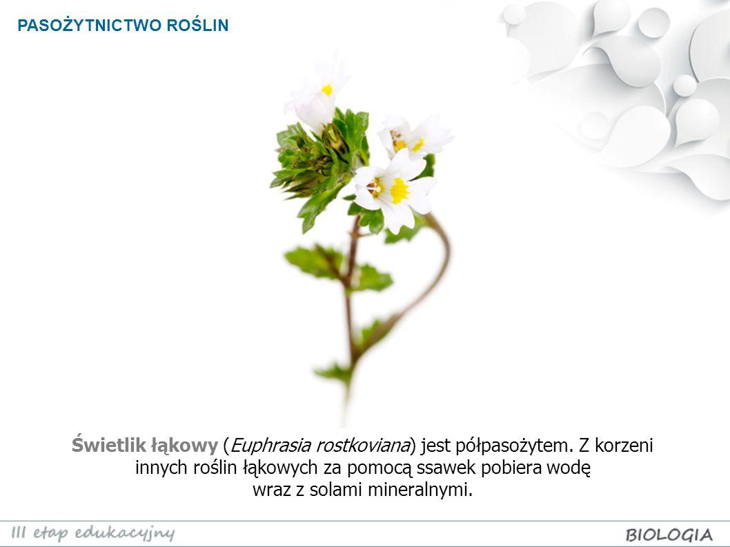 PASOŻYTNICTWO ROŚLIN Świetlik łąkowy (Euphrasia rostkoviana) jest półpasożytem. Z korzeni innych roślin łąkowych za pomocą ssawek pobiera wodę wraz z