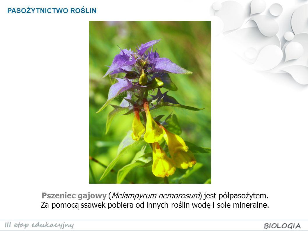 PASOŻYTNICTWO ROŚLIN Pszeniec gajowy (Melampyrum nemorosum) jest półpasożytem. Za pomocą ssawek pobiera od innych roślin wodę i sole mineralne.