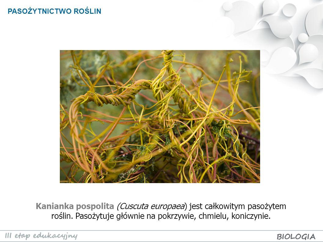 Łuskiewnik różowy (lathraea squamaria) jest rośliną bezzieleniową i pasożytuje głównie na korzeniach drzew: leszczyny, topoli i olszy.