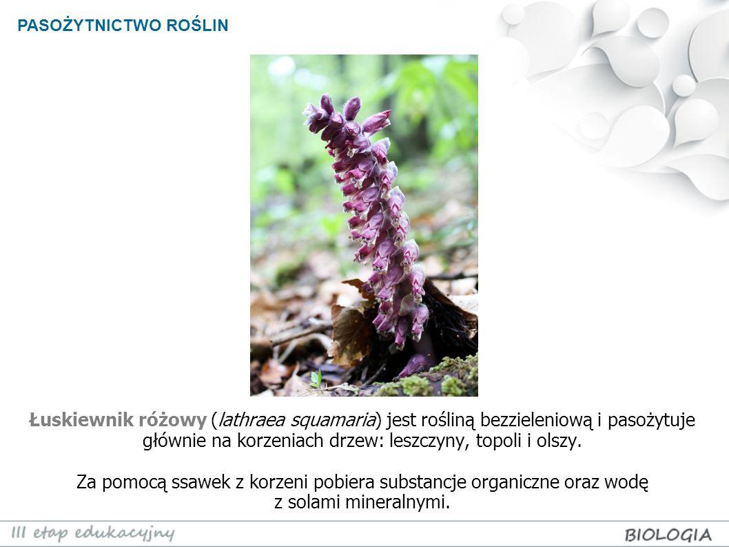 Łuskiewnik różowy (lathraea squamaria) jest rośliną bezzieleniową i pasożytuje głównie na korzeniach drzew: leszczyny, topoli i olszy. Za pomocą ssawe