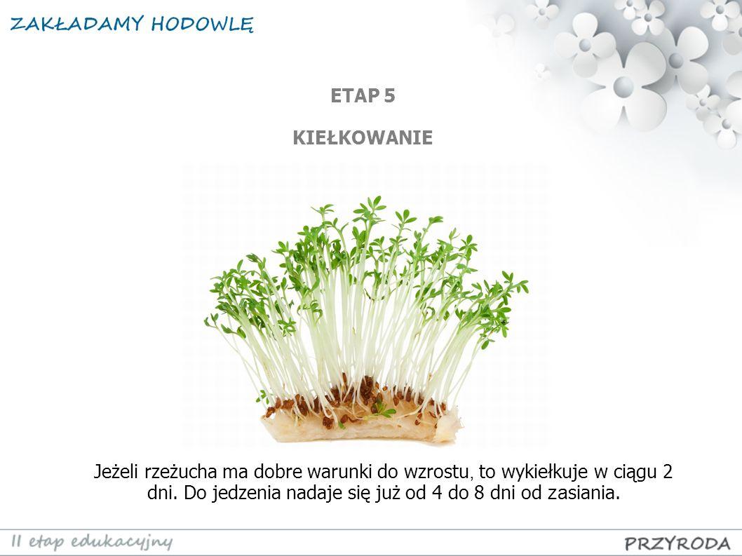Jeżeli rzeżucha ma dobre warunki do wzrostu, to wykiełkuje w ciągu 2 dni. Do jedzenia nadaje się już od 4 do 8 dni od za siania. ETAP 5 KIEŁKOWANIE