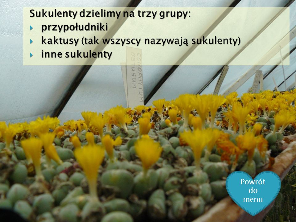Sukulenty dzielimy na trzy grupy: przypołudniki przypołudniki kaktusy (tak wszyscy nazywają sukulenty) kaktusy (tak wszyscy nazywają sukulenty) inne s