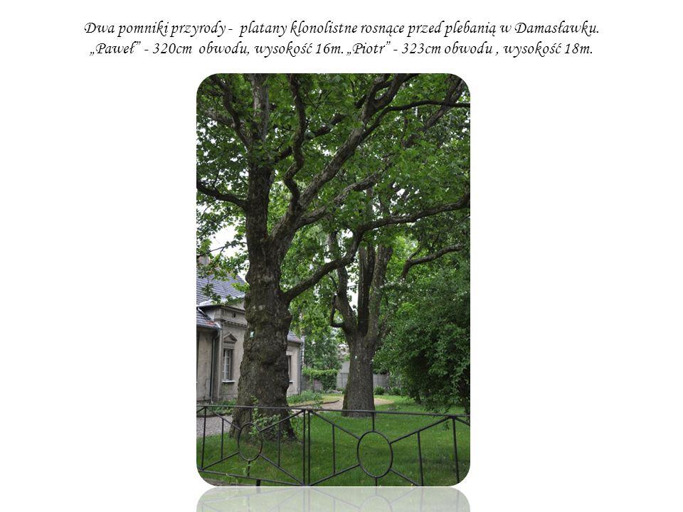 Dwa pomniki przyrody - platany klonolistne rosnące przed plebanią w Damasławku. Paweł - 320cm obwodu, wysokość 16m. Piotr - 323cm obwodu, wysokość 18m