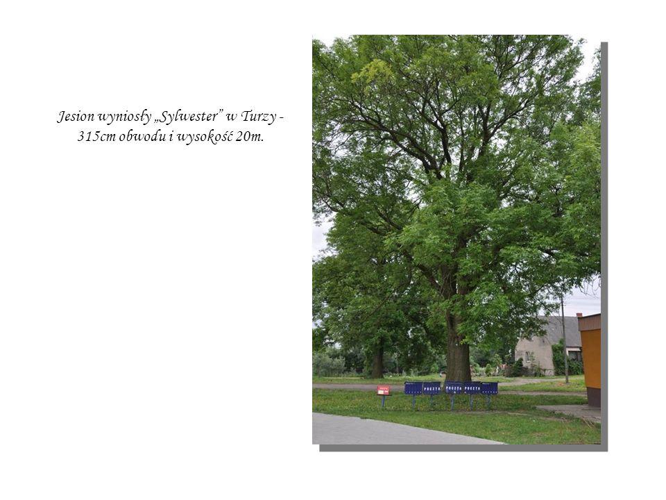 Dwa pomniki przyrody - lipy szerokolistne w Kozielsku przy plebanii.