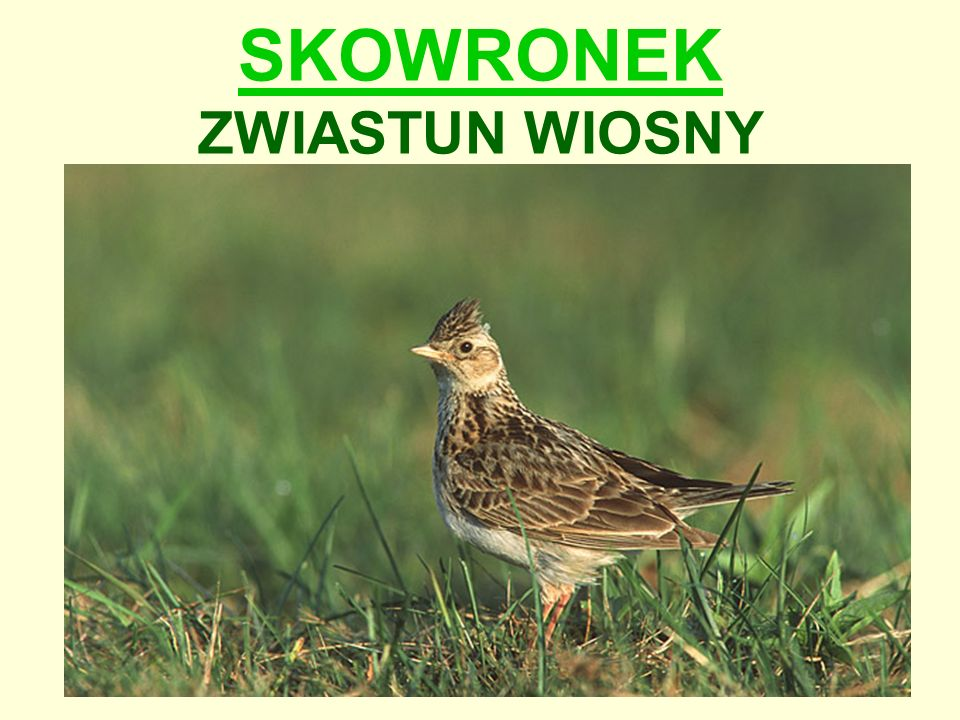 Wygląd skowronka Długość ciała: 18-19 cm.Skromnie ubarwiony ptak nieco większy od wróbla.
