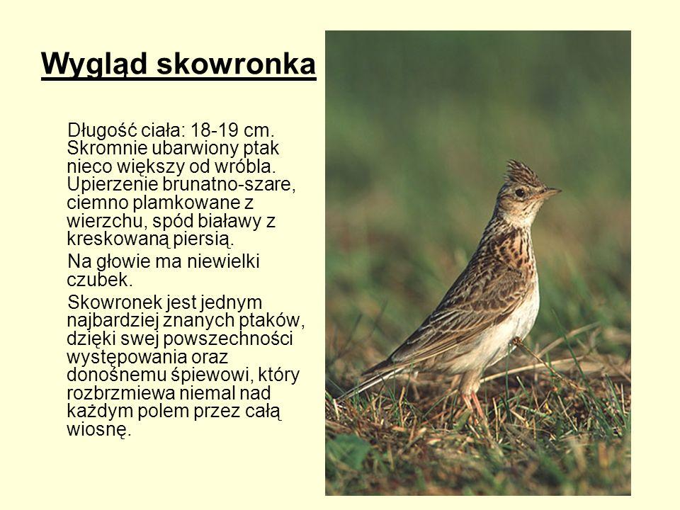 Wygląd skowronka Długość ciała: 18-19 cm. Skromnie ubarwiony ptak nieco większy od wróbla. Upierzenie brunatno-szare, ciemno plamkowane z wierzchu, sp