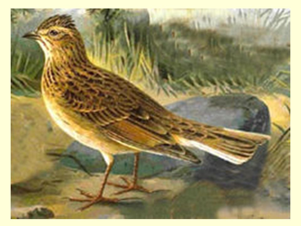 Opis skowronka Skowronek to niewielki ptak.Ma małą głowę osadzoną na krótkiej szyi.