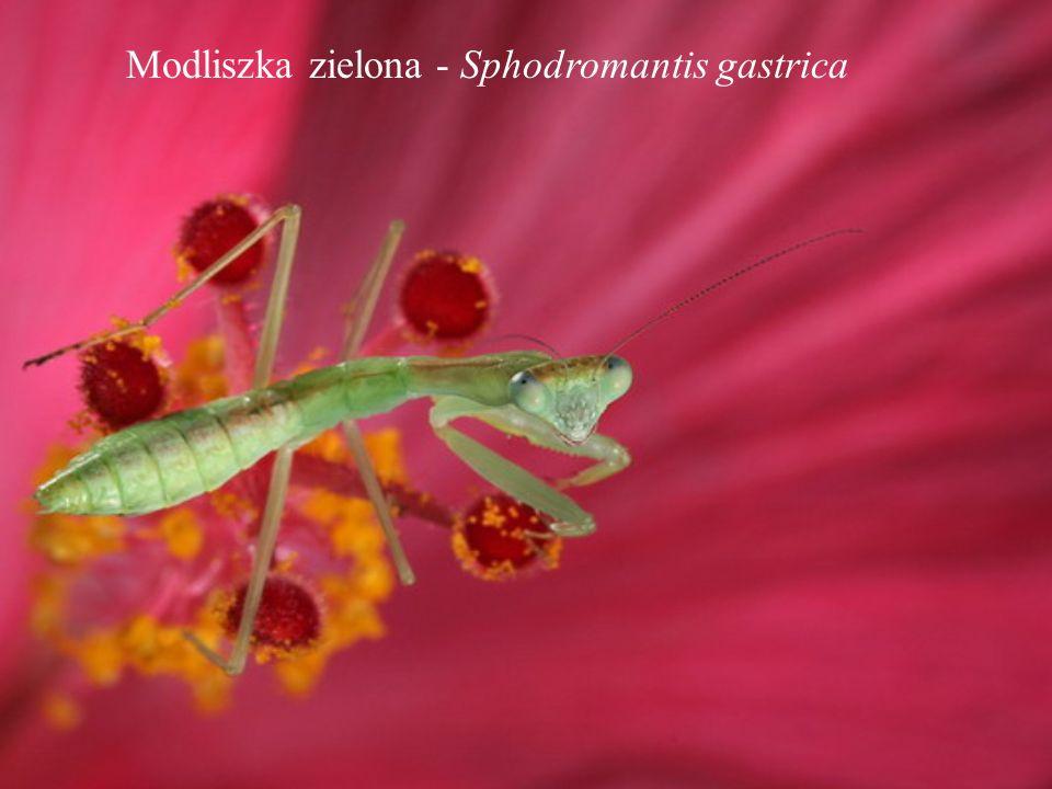 Modliszka zielona - Sphodromantis gastrica