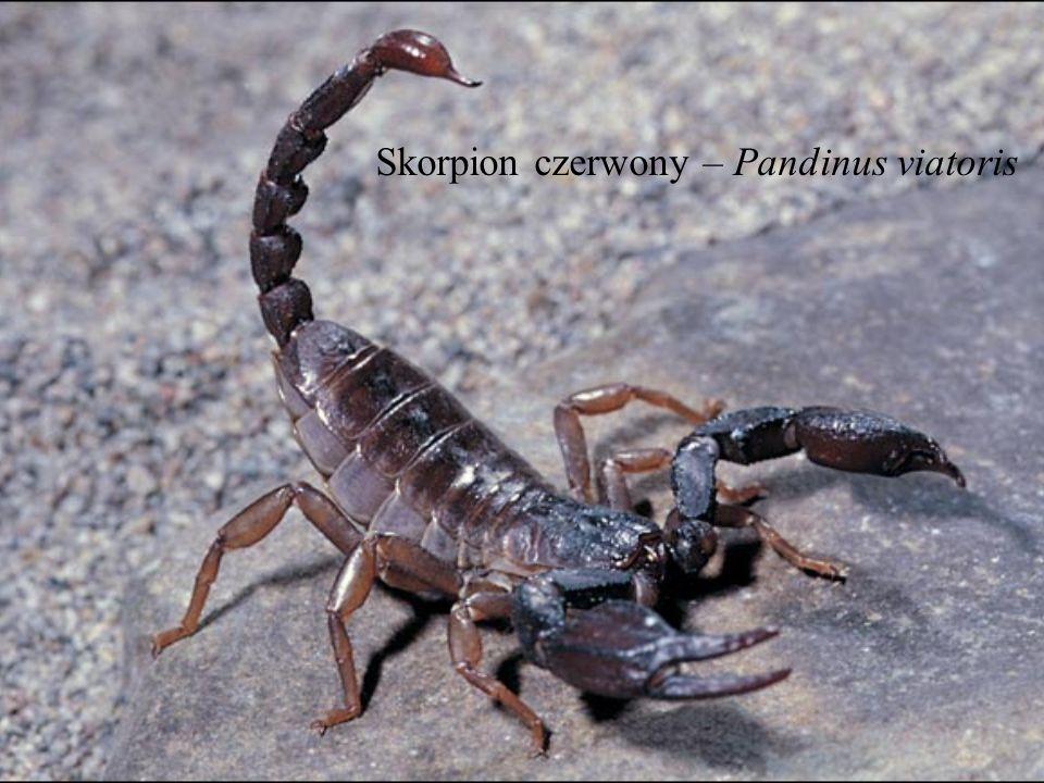 Skorpion czerwony – Pandinus viatoris