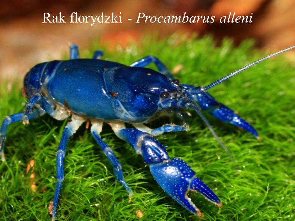 Rak florydzki - Procambarus alleni